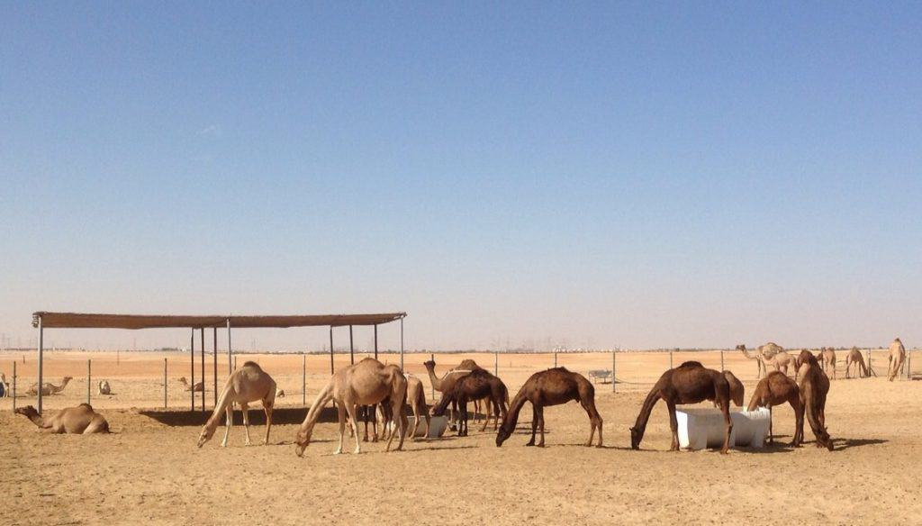 Camel Farm in Dubai Desert - Things to do on Dubai