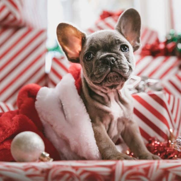 Little Grey Frenchie Puppy in Front of presents